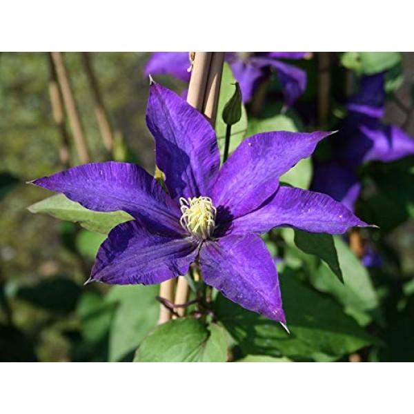 1 Daniel Deronda Clematis Vine - Double Purple Blooms - 2.5 Pot L...