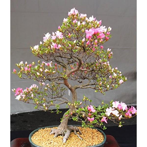 10 Japanese Flowering Cherry Blossom Bonsai Seeds,Exotic Rare Saku...