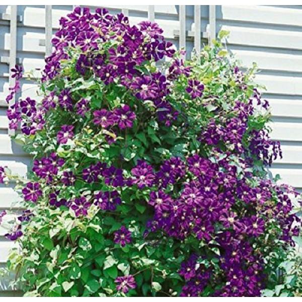 1 Root Clematis, Jackmanii,Bare Root/rhizome,-flowered Vine,Now ...