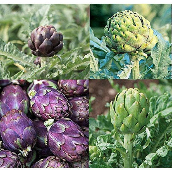 Davids Garden Seeds Collection Set Artichoke Open Pollinated SY83...