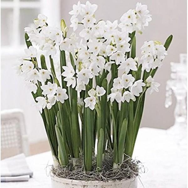 30 Ziva Paperwhites 13-15cm- Indoor Narcissus: Narcissus Tazetta--...