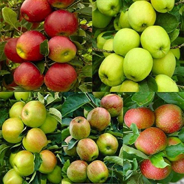 30Pcs Pink Lady Fuji Gala Honey Crisp Golden Delicious Native Frui...