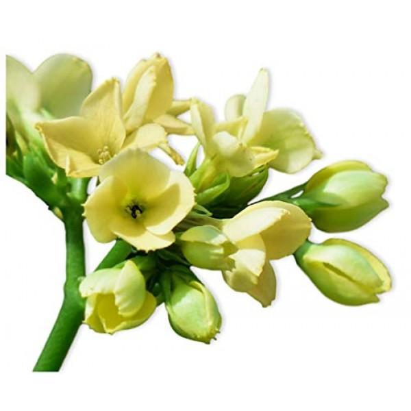 1 Yellow Baby Tuberose Bulb Single Form - Luscious Fragrance | Shi...