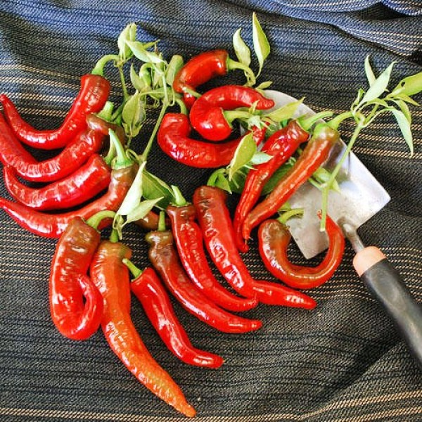30+ Italian Jimmy Nardellos Sweet 12 Long Pepper Seeds, Heirloom...