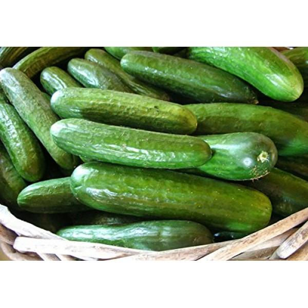 30+ ORGANICALLY GROWN Persian Beit Alpha A.k.a. Lebanese Cucumbe...