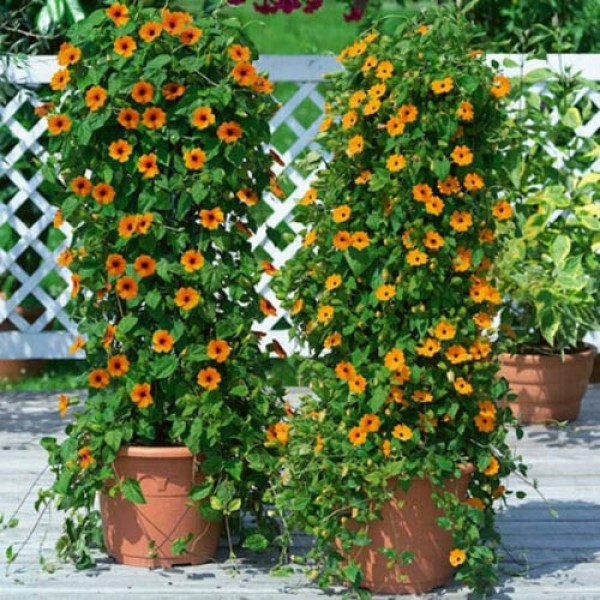 40+Black Eyed Susan Vine Seeds Easy to Grow Reseeds Butterflies Th...
