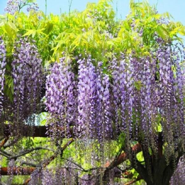 10PCS Floribunda Chinese Wisteria Tree Vine Seeds Flower Autumn Se...