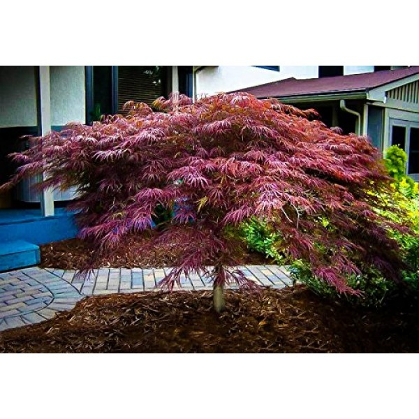 3 Gallon INABA SHIDARE Japanese Maple-Leaves are Purple red as T...