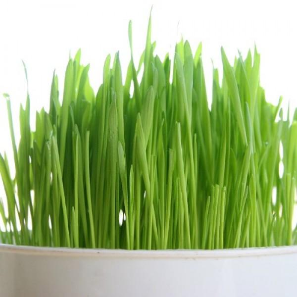 Certified Organic Non-GMO Wheatgrass Seeds - 5 Pounds Wheat Seed -...