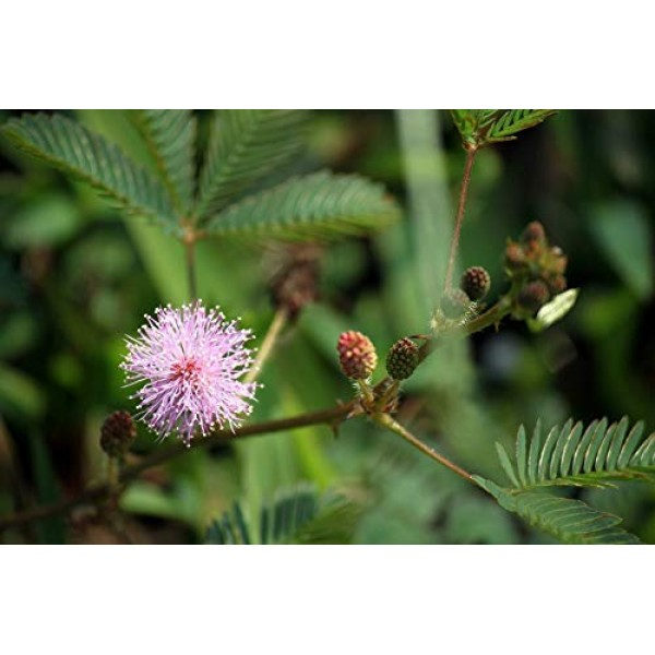 100 Sensitive Plant Seeds - Mimosa Pudica, Moving Plant, Shy Plant...