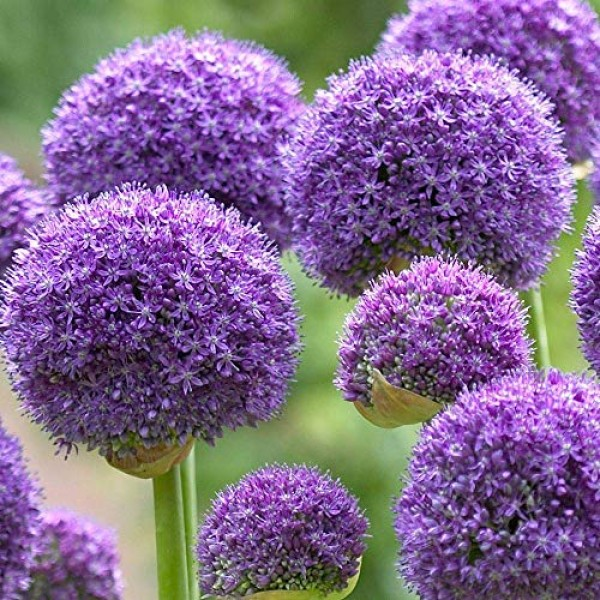 5 Allium Gladiator Bulbs - Ready to Plant - Blooming Onion - Live ...