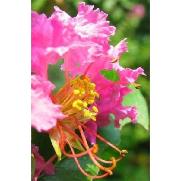 35 DARK PINK CREPE CRAPE MYRTLE Lagerstroemia Bush Tree Flower See...