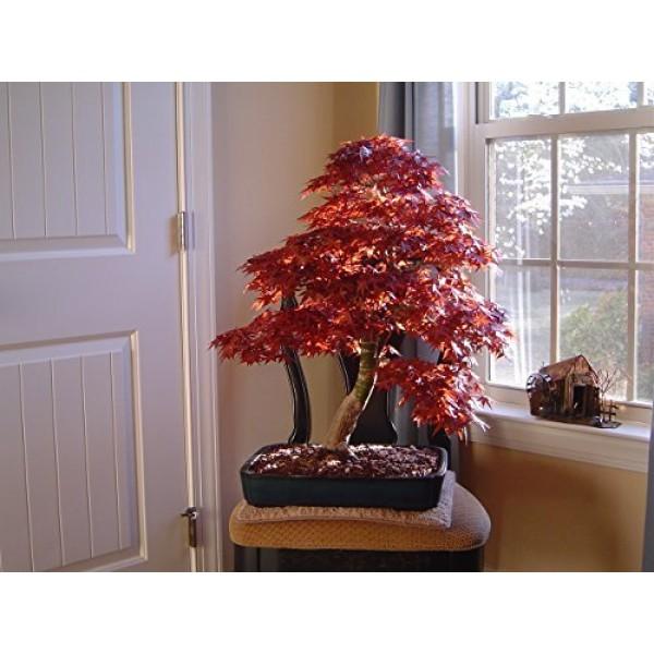 10 JAPANESE MAPLE TREE Acer Palmatum Seeds