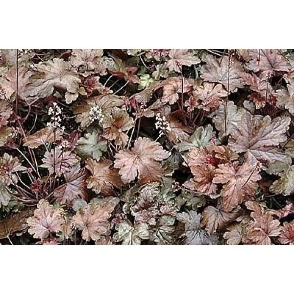 1200 BRESSINGHAM MIXED CORAL BELLS Heuchera Sanguinea Flower Seeds