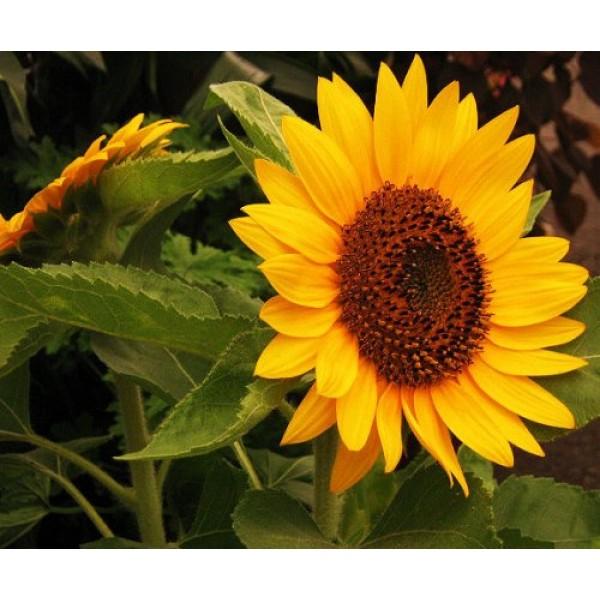 30 INCREDIBLE DWARF SUNFLOWER Helianthus Annuus Flower Seeds