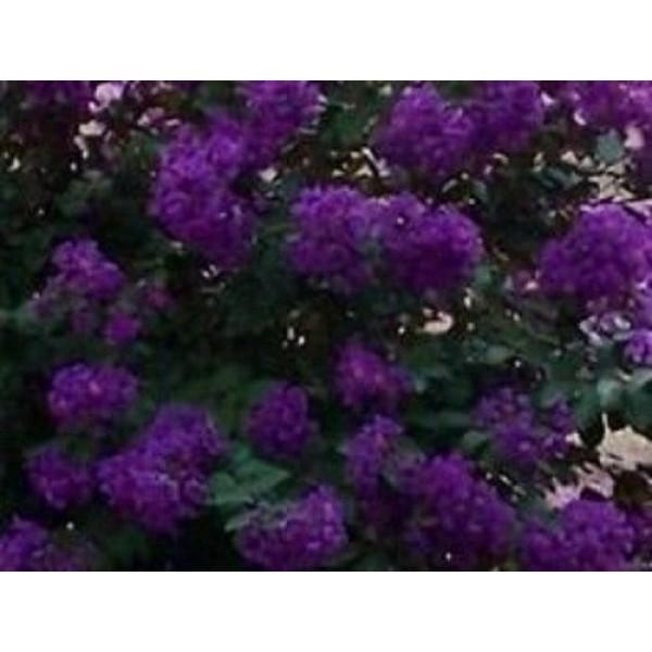 35+ Crape Myrtle Purple Seeds/Perennial Tree