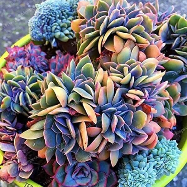 100pcs Japanese Succulents Seeds Rare Indoor Flower M...